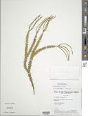 view Huperzia phlegmaria (L.) Rothm. digital asset number 1