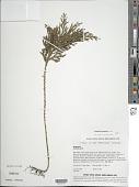 view Selaginella arbuscula (Kualf.) Spring digital asset number 1