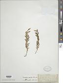 view Tmesipteris gracilis Chinnock digital asset number 1