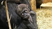 view At Nearly Four Months Old, the Zoo's Youngest Gorilla Has Begun to Show His Rambunctious Roots digital asset number 1