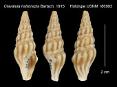 view Clavatula halistrepta Bartsch, 1915 digital asset number 1