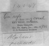 view Alpheus packardii Kingsley, 1880 digital asset number 1