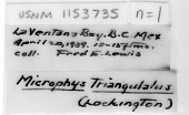 view Microphrys triangulatus (Lockington, 1877) digital asset number 1