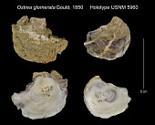 view Ostrea glomerata Gould, 1850 digital asset number 1