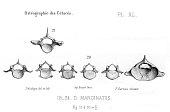 view Stenella coeruleoalba (Meyen, 1833) digital asset number 1
