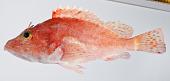 view Scorpaenopsis digital asset number 1