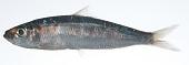 view Herklotsichthys quadrimaculatus digital asset number 1