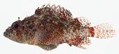 view Scorpaenodes scaber digital asset number 1