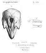 view Globicephala melas melas (Traill, 1809) digital asset number 1