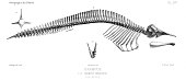 view Grampus griseus (Cuvier, 1812) digital asset number 1