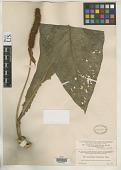 view Anthurium consobrinum var. cuneatissimum Engl. digital asset number 1