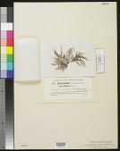 view Chondria tenuissima f. californica F.S. Collins in F.S. Collins et al. digital asset number 1