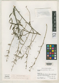 view Crossopetalum parviflorum L.O. Williams digital asset number 1