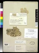 view Parmelia tinctorum var. endosulphurea Hillmann digital asset number 1