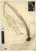view Agrostis capillaris var. aristulata Hitchc. digital asset number 1