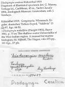 view Diodogorgia ceratosa Kukenthal, 1919 digital asset number 1