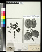 view Hydrangea platyphylla Briq. digital asset number 1