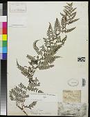 view Sitolobium samoense Brack. in Wilkes orth. var., Sitobolium digital asset number 1