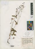 view Geranium pinetorum R. Knuth digital asset number 1