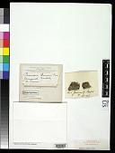 view Parmelia borreri Turner in J. Sowerby & Sm. digital asset number 1