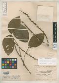 view Macropsychanthus ferrugineus Merr. digital asset number 1