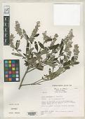 view Salvia anastomosans Ramamoorthy digital asset number 1