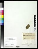 view Bacidia purpurascens Vain. digital asset number 1