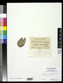 view Sporopodium leucoxanthoides var. ochraceopruinosa Vain. digital asset number 1