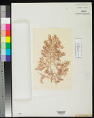 view Hypnea planicaulis Harv. in Hook. f. digital asset number 1