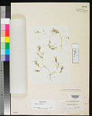 view Nitella paucicostata T.F. Allen digital asset number 1