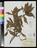view Quiina pubescens A.C. Sm. digital asset number 1