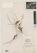 view Dioscorea fluminensis R. Knuth digital asset number 1