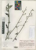 view Periptera lobelioides Fryxell & S.D. Koch digital asset number 1