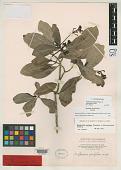 view Straussia pubiflora A. Heller digital asset number 1