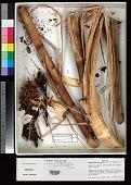 view Encholirium brachypodum L.B. Sm. & Read digital asset number 1