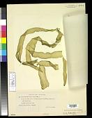 view Ulva fasciata f. major Tilden digital asset number 1