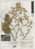 view Vernonia spiritu-sancti Cuatrec. digital asset number 1