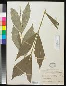 view Korthalsia scaphigeroides Becc. digital asset number 1