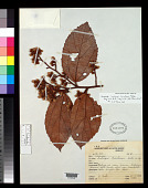 view Lueheopsis burretiana Ducke digital asset number 1
