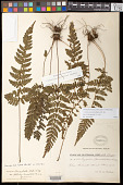 view Dryopteris lanceolata var. deltoideo-lanceolata C. Chr. digital asset number 1