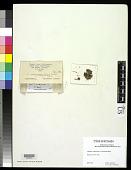 view Cladonia scabriuscula f. subnuda Robbins digital asset number 1