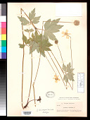 view Anemone virginiana f. leucosepala Fernald digital asset number 1