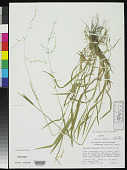 view Trisetum curvisetum Morden & Valdés-Reyna digital asset number 1