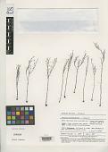 view Stylidium mitrasacmoides Carlquist digital asset number 1