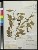 view Drymoglossum carnosum J. Sm. in Hook. digital asset number 1