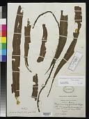 view Polypodium longifrons Wall. ex Hook. & Grev. digital asset number 1