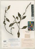 view Plectranthus forsythii Hedge in Hedge digital asset number 1