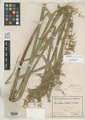 view Rhynchospora locuples C.B. Clarke digital asset number 1