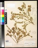 view Astragalus orizabae var. irolanus M.E. Jones digital asset number 1