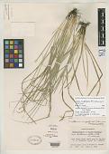 view Carex willdenowii var. megarrhyncha F.J. Herm. digital asset number 1